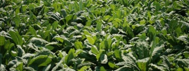 kale fields