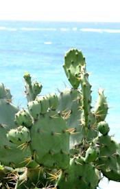 Cactus at Tulum