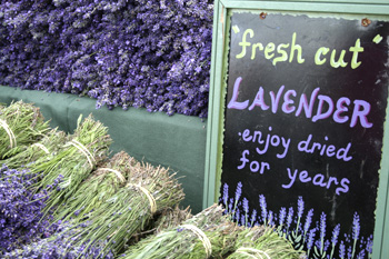 Lavender for Sale