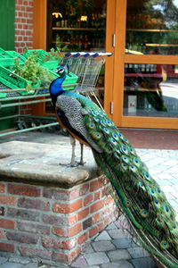 peacock at the grocery store