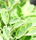Lemon Sage