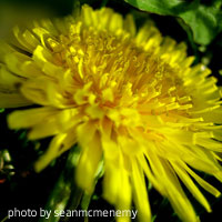 Superfood Dandelion